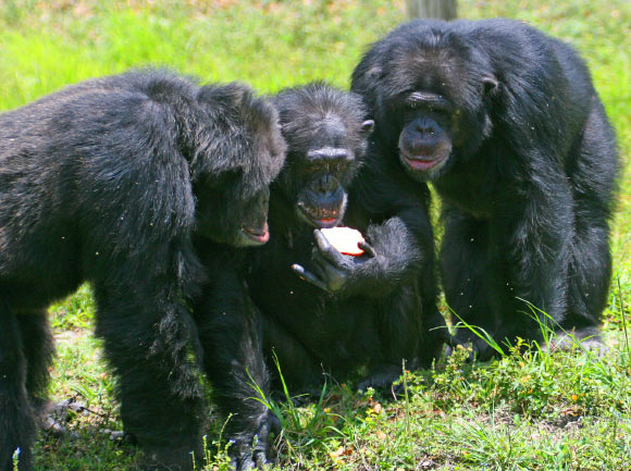 image_2869-Chimpanzees