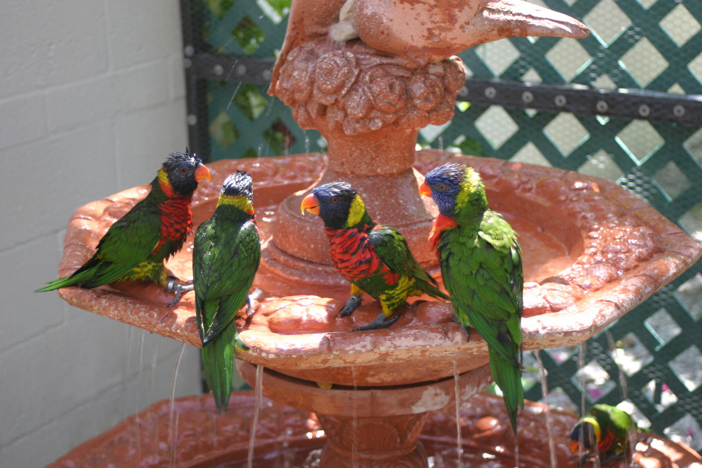 Lorikeet-fun-w