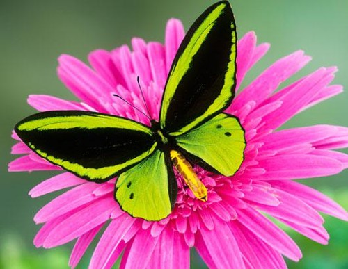 most-beautiful-butterflies-in-the-world-3