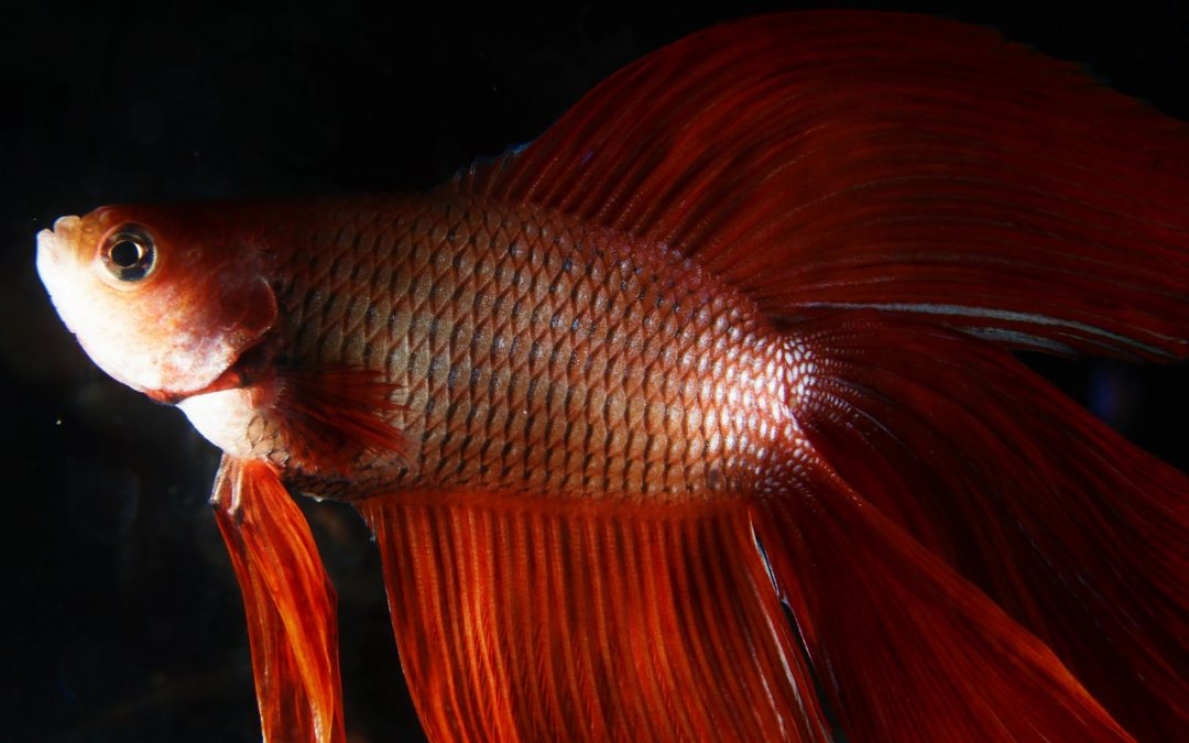 7 dicas – Como cuidar de um peixe betta